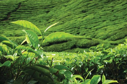 Ceylon Tea Plantation Central Highlands..