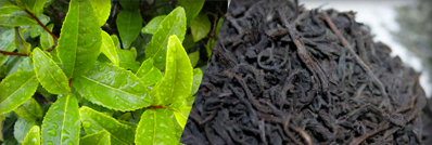 Ceylon Tea, the Finest Black Tea in the World