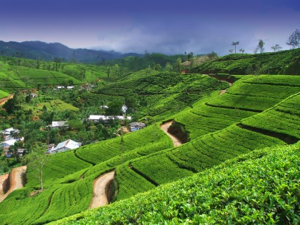 Ceylon Tea Plantation, Sri Lanka