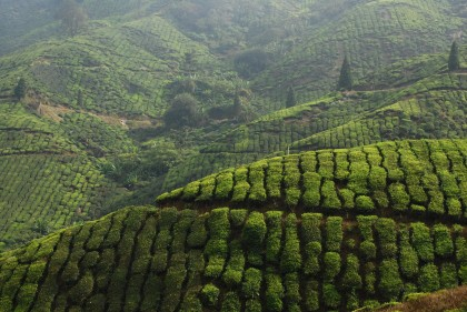 Ceylon Tea Plantation, Central Highlands, Sri Lanka